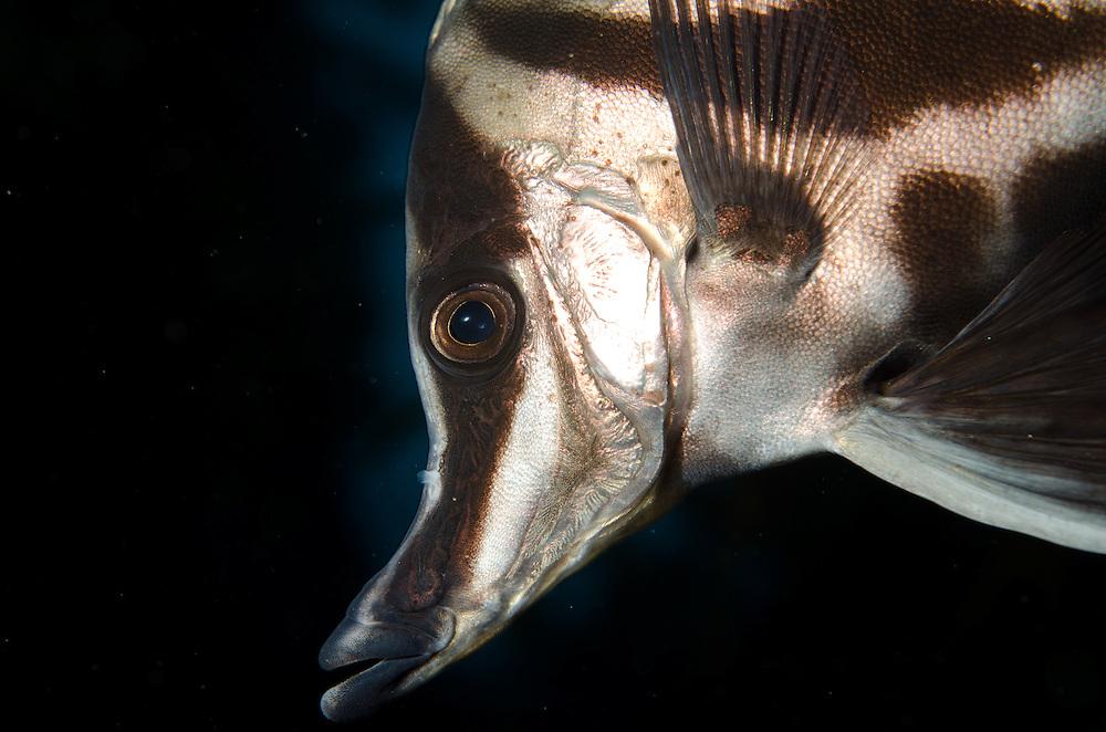 Long Snout Boarfish, Pentaceropsis recurvirostris