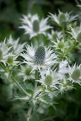 Eryngium giganteum 'Silver Ghost'. Sea holly.