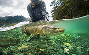 Horse of a brown trout that was the parting fish as we exited NZ. Nice parting gift.