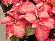 """Poinsettia 'Premium Ice Crystal'. The Poinsettia (Euphorbia pulcherrima) is indigenous to Mexico and Central America. This flowering plant is named after Joel Roberts Poinsett, the first United States Minister to Mexico, who introduced the plant into the US in 1828. The Aztecs used the plant to produce red dye and as an antipyretic medication. Today it is known in Mexico and Guatemala as """"Noche Buena"""", meaning Christmas Eve. In Spain its is known as """"Flor de Pascua"""", meaning Easter Flower. In both Chile and Peru, the plant became known as """"Crown of the Andes""""."""