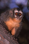 Night (or Owl) Monkey<br />Aotus nigriceps <br />Amazon, PERU. South America<br />RANGE: Central & South America. Panama to Chaco of Argen.<br />Not in Guianas and Northern Brazil