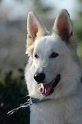 White Swiss Shepherd Dog (Berger Blanc Suisse)