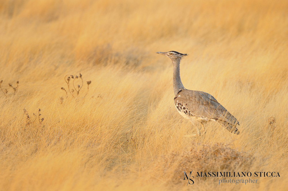 The Kori Bustard (Ardeotis kori) is a large bird native to Africa. It is a member of the bustard family. It may be the heaviest bird capable of flight.