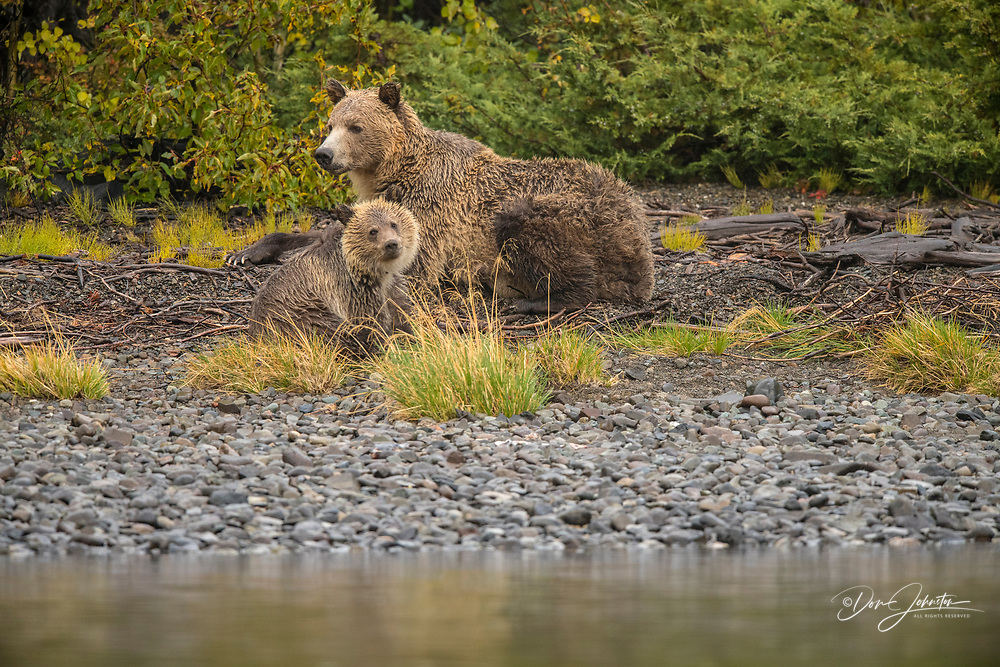 Grizzly bear (Ursus arctos)- Mother and yearling cubs resting on riverbank while hunting sockeye salmon spawning in the Chilko River, Chilcotin Wilderness, BC Interior, Canada