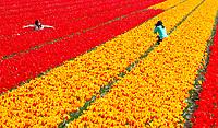 LISSE - Ondanks de nachtvorst staan de tulpen in de bollenvelden zaterdag prachtig in bloei. Veel toeristen wagen zich tussen de bloemen wat door veel kwekers niet in dank wordt afgenomen. Over een week is het bloemencorso van de Bollenstreek.COPYRIGHT KOEN SUYK