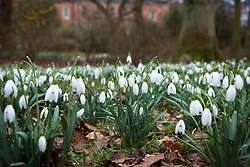 Snowdrops growing in the woodland area in the Winter Garden at Dunham Massey. Galanthus