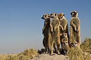 Meerkat or Suricate Family (Suricata suricatta)<br /> Makgadikgadi Pans, Kalahari Desert<br /> Northeast BOTSWANA<br /> HABITAT & RANGE: Kalahari Desert in Botswana, Namib Desert of Namibia, Angola and South Africa