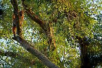 Bornean Orangutan <br />Wurmbii Sub-species<br />(Pongo pygmaeus wurmbii)<br /><br />Adult female Beth feeding on epiphytes high in a canopy tree in afternoon light<br /><br />Gunung Palung Orangutan Project<br />Cabang Panti Research Station<br />Gunung Palung National Park<br />West Kalimantan Province<br />Island of Borneo<br />Indonesia