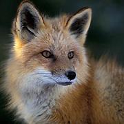 Red Fox, (Vulpus fulva) Adult. Rocky mountains. Montana. Winter. Captive Animal.