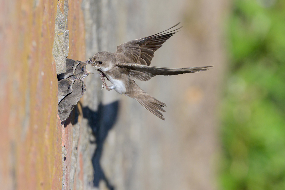 Sand martins (Riparia riparia) nesting in old drainage pipes along River Mersey retaining walls. Greater Manchester, UK. Adult feeding chicks
