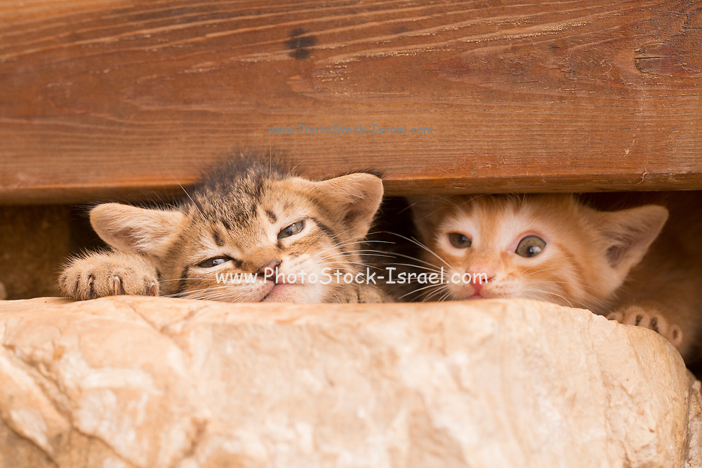 Two kittens in hiding under a wooden plank