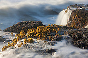 Pacific Ocean waves crash over the sea palms (Postelsia palmaeformis) growing on the rocky shore at Cape Perpetua, Oregon. The sea palm spends most of its life exposed to air and is one of the few algae that survives and remains erect out of water. It is found along the western coast of North America on rocky shores that are pounded constantly by waves.