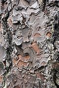 Tree bark pattern. Wenaha River Trail, Blue Mountains, Umatilla National Forest, Oregon, USA.
