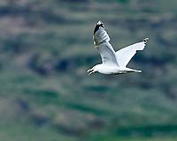 Mew Gull (Larus canus). Akureyri, Iceland. Image taken with a Nikon Df camera and 300 mm f/2.8 VR lens.