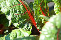 ornamental swiss chard leaves ready for harvesting
