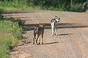 Two Gray wolves walk on a gravel road in Wisconsin