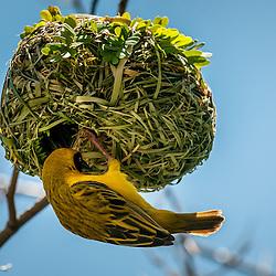 Tecelão, Tecelão-de-máscara, Tecelão-de-máscara-setentrional. O macho a dar os retoques finais ao ninho (Lat.: Ploceus velatus). Bengo, Angola