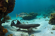Nurse Shark (Ginglymostoma cirratum) & Dog Snapper (Lutjanus jocu)<br /> Hol Chan Marine Reserve<br /> near Ambergris Caye and Caye Caulker<br /> Belize Barrier Reef, second largest barrier reef in the world<br /> Belize<br /> Central America