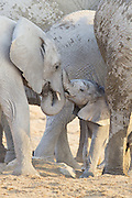 African Elephant <br /> Loxodonta africana<br /> Young calf playing with sub-adult<br /> Etosha National Park, Namibia