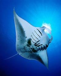 reef manta ray, feeding on plankton, Mobula alfredi, Kona Coast, Big Island, Hawaii, USA, Pacific Ocean (dc)