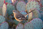 A northern mockingbird (Mimus polyglottos) rests on a prickly pear cactus in Chandler, Arizona. Northern mockingbirds are known for their intelligence, including their ability to recognize individual people. The northern mockingbird is the state bird of Arkansas, Florida, Mississippi, Tennessee and Texas — and formerly of South Carolina.
