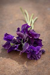 Lathyrus odoratus  'Dark Passion' - Sweet pea