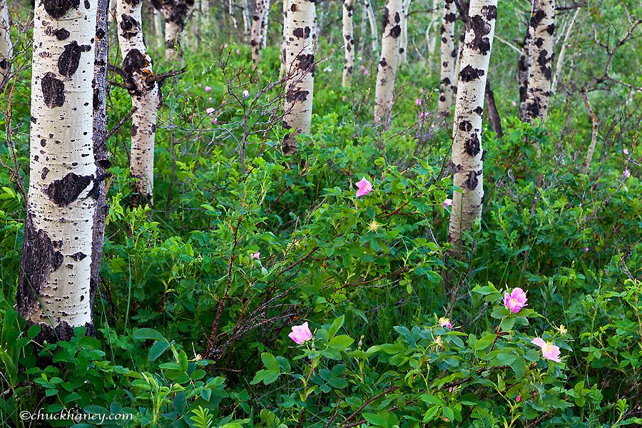 Wild rose wildflowers in aspen grove in Glacier National Park, Montana, USA