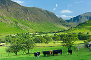 Cattle in pastureland by Maiden Moor in Derwent Fells, Cumbrian mountains near Derwentwater in Lake District National Park, UK