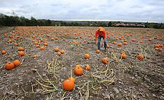 Maidstone: Pumpkins for Halloween, 20 Oct. 2016
