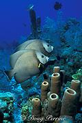 gray angelfish, Pomacanthus arcuatus, <br /> mated pair<br /> Turks & Caicos ( Western Atlantic )