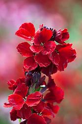 Cheiranthus Cheiri F1 Hybrid 'Sunset Red'. Wallflower