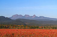 The Golden Ears (Mount Blanshard) above the red fall foliage leaves of a Blueberry field in Pitt Meadows, British Columbia, Canada