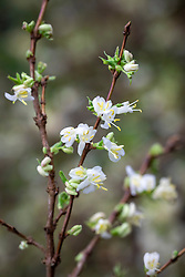 Lonicera fragrantissima - Winter-flowering honeysuckle, <br /> Sweetest honeysuckle