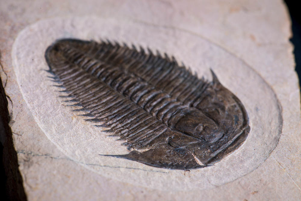This Utaspis marjumensis (sagittal length: 57mm) is a very rare ptychopariid from the Middle Cambrian Marjum Formation of Utah. The right librigena is slightly disarticulated.