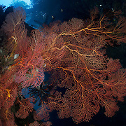 Healthy gorgonian sea fans at Deacon's Reef in Milne Bay, Papua New Guinea. Bob Halstead has picked up broken sea fans over many years and planted these sea fans on this wall, producing a beautiful dive site, with overhanging trees visible above.