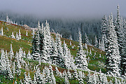 Fresh powder on pines above Paradise, Mount Rainier National Park, Washington