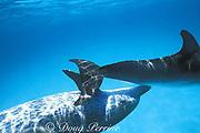 Atlantic spotted dolphins, Stenella frontalis, Atlantic spotted dolphins, Stenella frontalis, genital buzz ( beak to genital stimulation ), Little Bahama Bank, Bahamas ( Western Atlantic Ocean )