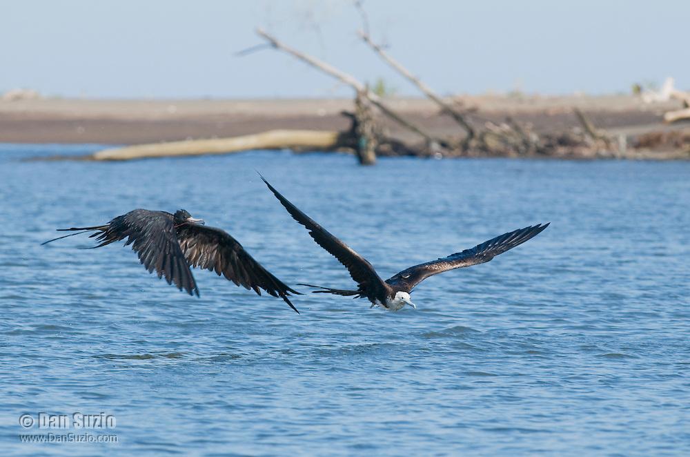 Adult male and immature magnificent frigatebirds, Fregata magnificens, near the mouth of the Tarcoles River, Costa Rica