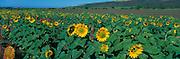 Sunflowers, Kekaha, Kauai, Hawaii<br />