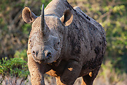 A black rhinoceros (Diceros bicornis) coming out of the bushes after browsing on vegetation, Solio,Kenya