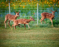 Conflict at the Deer Daycare Playground. Image taken with a Nikon D5 camera and 600 mm f/4 VR lens (ISO 1600, 600 mm, f/5.6, 1/200 sec).