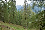 Pine tree forest. Photographed on Elfer Mountain, Stubaital, Tyrol, Austria
