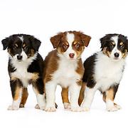 Judi - Aussie and Border Collie Pups
