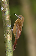 Plain-brown Woodcreeper - Dendrocincla fuliginosa meruloides
