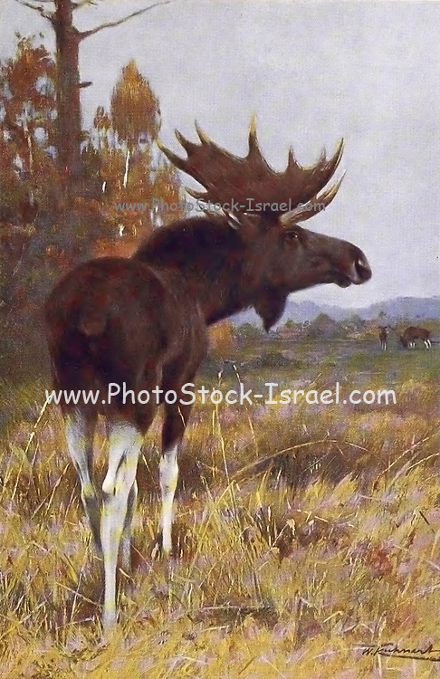 Male ELK (Alces alces here as Alces machlis) from the book '  Animal portraiture ' by Richard Lydekker, and illustrated by Wilhelm Kuhnert, Published in London by Frederick Warne & Co. in 1912