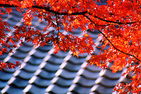 Japan, Kyoto, 1999. Sensuous roof-lines are graced by autumn color at Kyoto's magnificent Ninna-ji Shinto shrine.