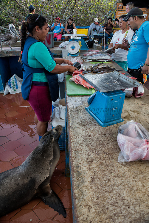 Galapagos Sealion (Zalophus wollebaeki)<br /> Fish Market<br /> Puerto Ayora, Santa Cruz Island<br /> GALAPAGOS ISLANDS<br /> ECUADOR.  South America