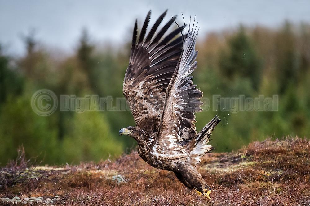 White-tailed Eagle takeoff | Havørn som letter