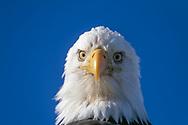 Bald eagle head portrait, looking straight at viewer, Alaska, © David A. Ponton