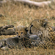 Cheetah, (Acinonyx jubatus) Mother and cubs resting. Masai Mara Game Reserve. Kenya.Africa.